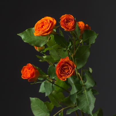 Роза Оранжевая Кустовая (70 см.) фото