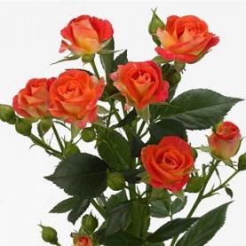 Роза Оранжевая Кустовая (40 см.) фото