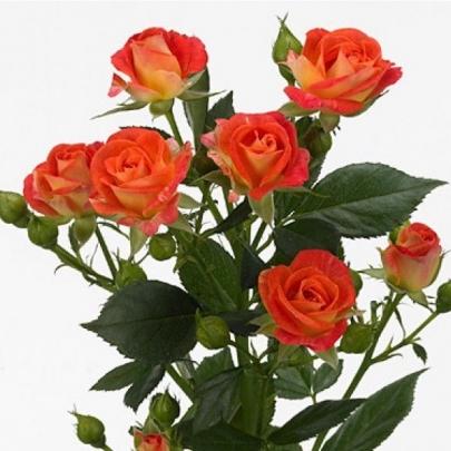 Роза Оранжевая Кустовая (50 см.) фото