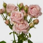 Роза (Pink Bubbles)
