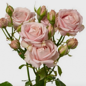 Роза Кустовая Pink Bubbles (60 см.) фото