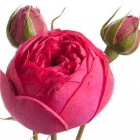 Роза Кустовая Pink Piano Freiland (40 см.) фото