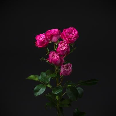 Роза Кустовая Lady Bombastic (60 см.) фото
