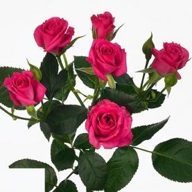 Роза Кустовая Purple Irischka (40 см.) фото