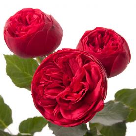 Роза Кустовая Пионовидная Красная (30-40 см.) фото