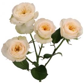 Роза Кустовая Royal Park (40 см.) фото