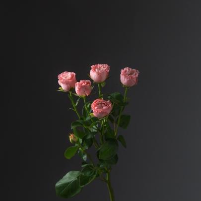 Роза Розовая Кустовая Пионовидная (70 см.) фото