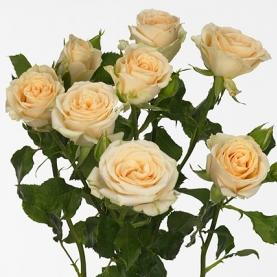 Роза Кустовая Salinero (40 см.) фото