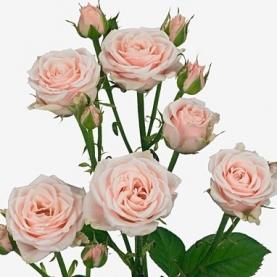 Роза Кустовая Sweet 4 Tune (70 см.) фото