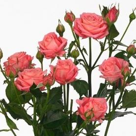 Роза Кустовая Sweet Bubbles (40 см.) фото
