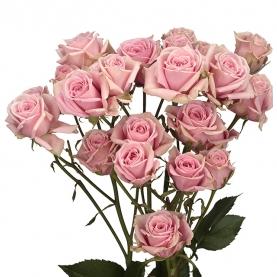 Роза Кустовая Розовая (30-40 см.) фото