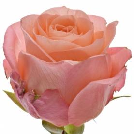 Роза Lady Margaret Кения (30-40 см.) фото