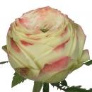 Роза (Latin Pompon)