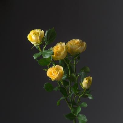 Роза Лимонная Кустовая (70 см.) фото