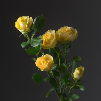 Роза Лимонная Кустовая (40 см.) фото