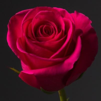 Роза малиновая Эквадор (1 метр) поштучно фото