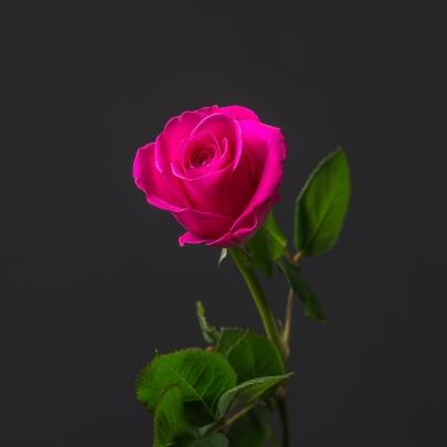 Роза Малиновая Кения (30-40 см.) фото