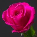 Роза (Tacazzi)