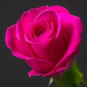 Роза малиновая Кения (37-40 см.) поштучно фото