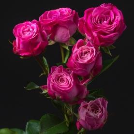 Роза Малиновая Кустовая Пионовидная (70 см.) фото