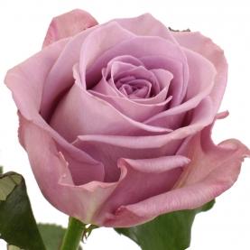 Роза Фиолетовая (30-40 см.)