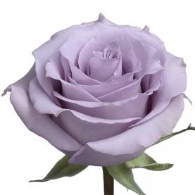 Роза Ocean Song (80 см.) фото