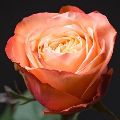 Роза Оранжевая Эквадор (60 см.)  фото