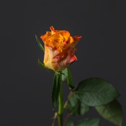 Роза Оранжевая Кения (30-40 см.)