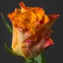 Роза (Marie-Claire)