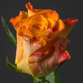 Роза оранжевая Кения поштучно