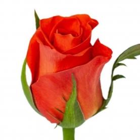 Роза Patz Кения (30-40 см.) фото