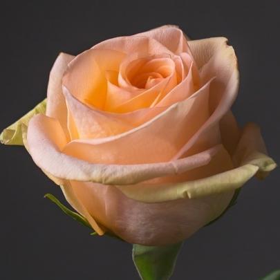Роза Персиковая Эквадор (40 см.) фото
