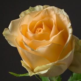 Роза персиковая Кения  фото