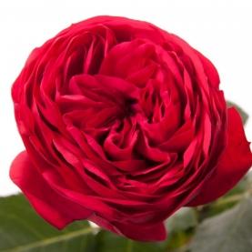 Роза Пионовидная Красная (30-40 см.) фото