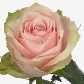 Роза Pink Athena Кения (30-40 см.) фото