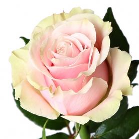 Роза Розово-Белая (50 см.) фото