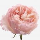 Роза Пионовидная 40,50,60,70см