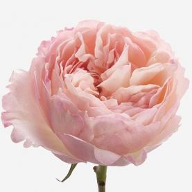 Роза Pink Ohara (40 см.) фото