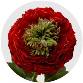 Роза Пушистая Красная (30-40 см.) фото