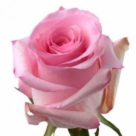 Роза Revival Кения (30-40 см.) фото