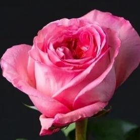 Роза Розовая Эквадор (60 см.) фото
