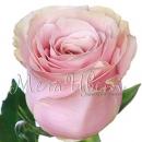 Роза Светло-Розовая (Julietа)