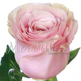 Роза светло-розовая Эквадор (60 см.) поштучно фото