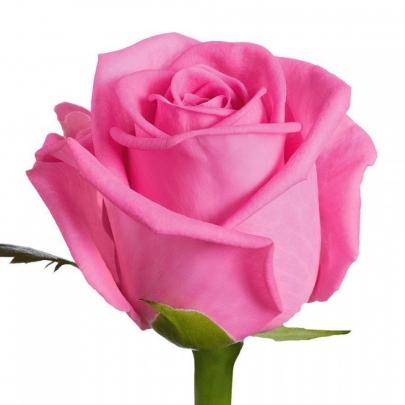 Роза Розовая Голландия (50 см.) поштучно фото