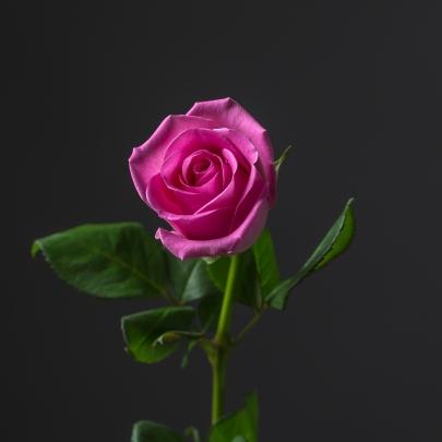 Роза Розовая Кения (30-40 см.)