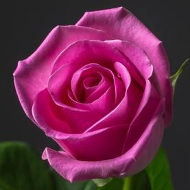 Роза розовая Кения поштучно