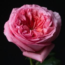 Роза Розовая Пионовидная (50 см.) фото