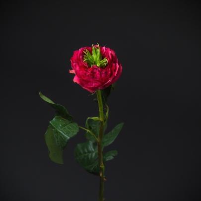 Роза Розовая Пушистая (40 см.) фото