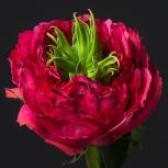 Роза Пушистая