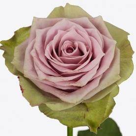 Роза Samanthas Bridal (50 см.) фото